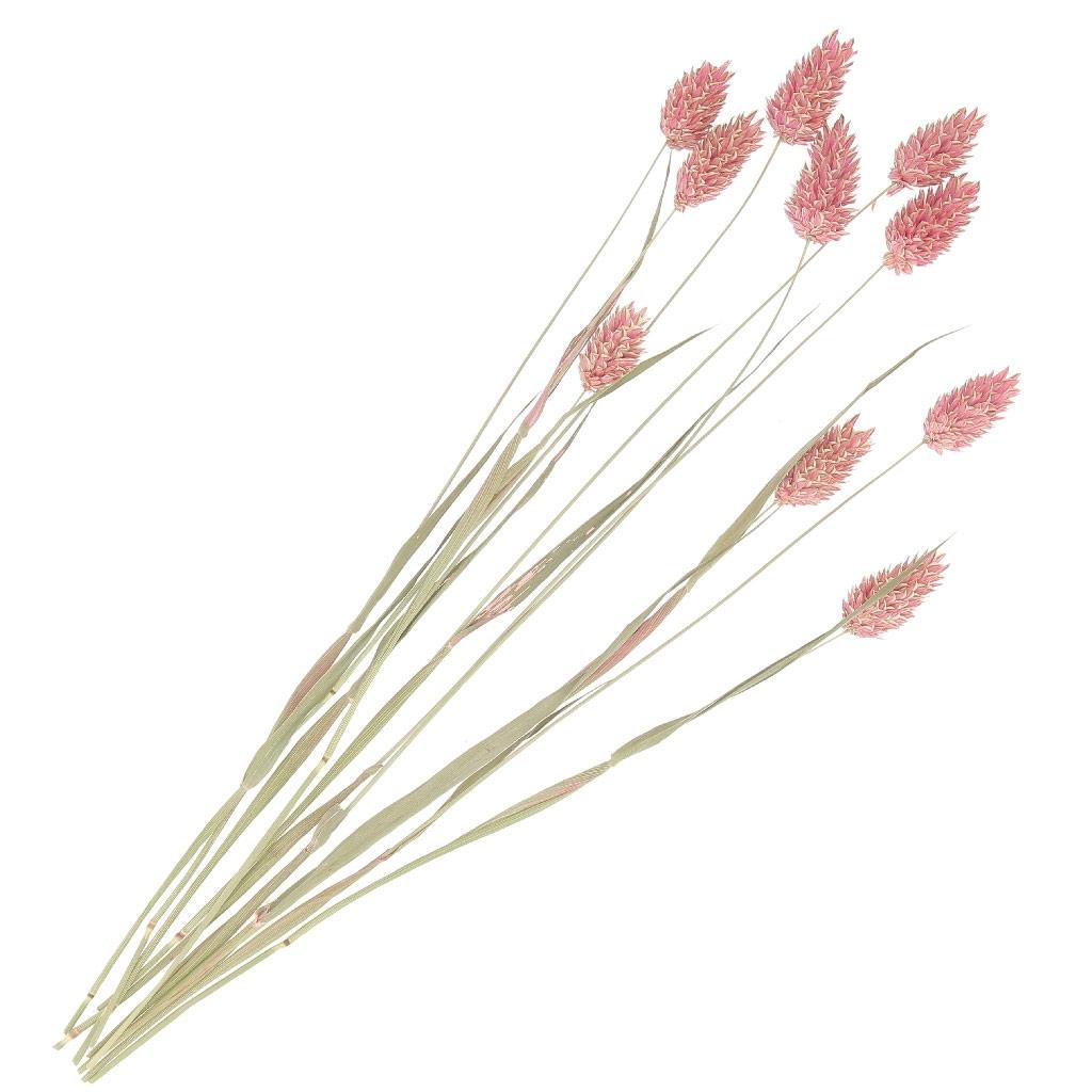 Comment Conserver Des Fleurs Séchées fleurs de phalaris rose séchées pour création diy x10 tiges